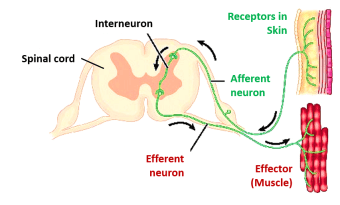 afferent and efferent neurons