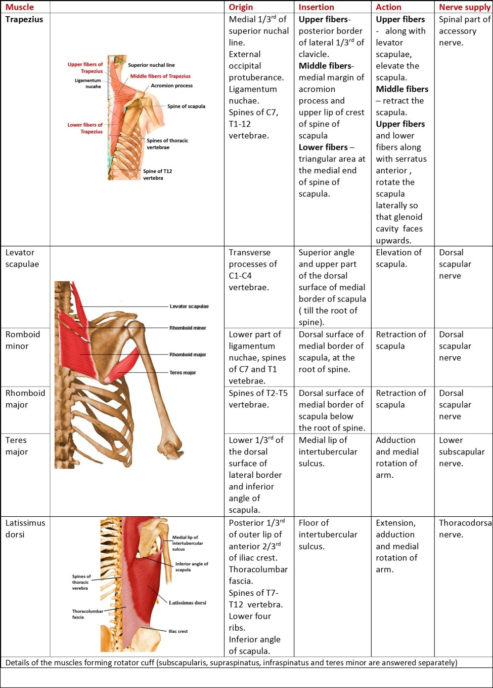 muscles of scapular region - origin,insertion,action and nerve supply
