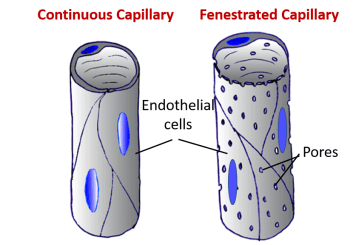 continuous and fenstrated capillaries
