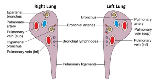 root of lung/hilum of lung