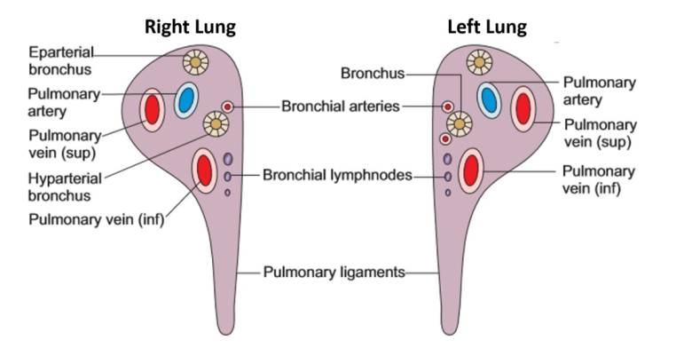 Lungs Gross Features Hilum Relations Bronchopulmonary Segments