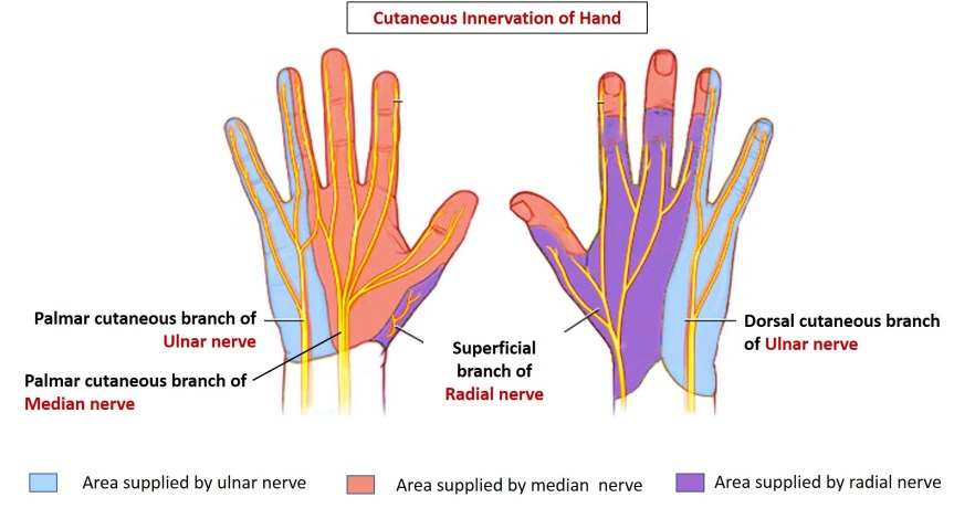 cuaneous innervation of hand