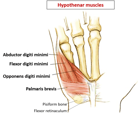 hypothenar muscles of hand