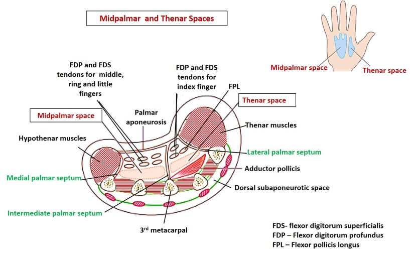 midpalmar and thenar spaces