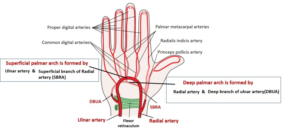 superficial and deep palmar arches of hand