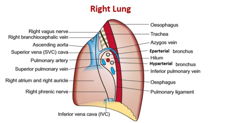 mediastinal surface of right lung