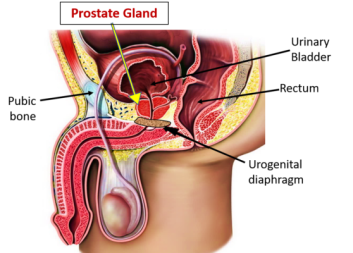 prostate anatomy pictures