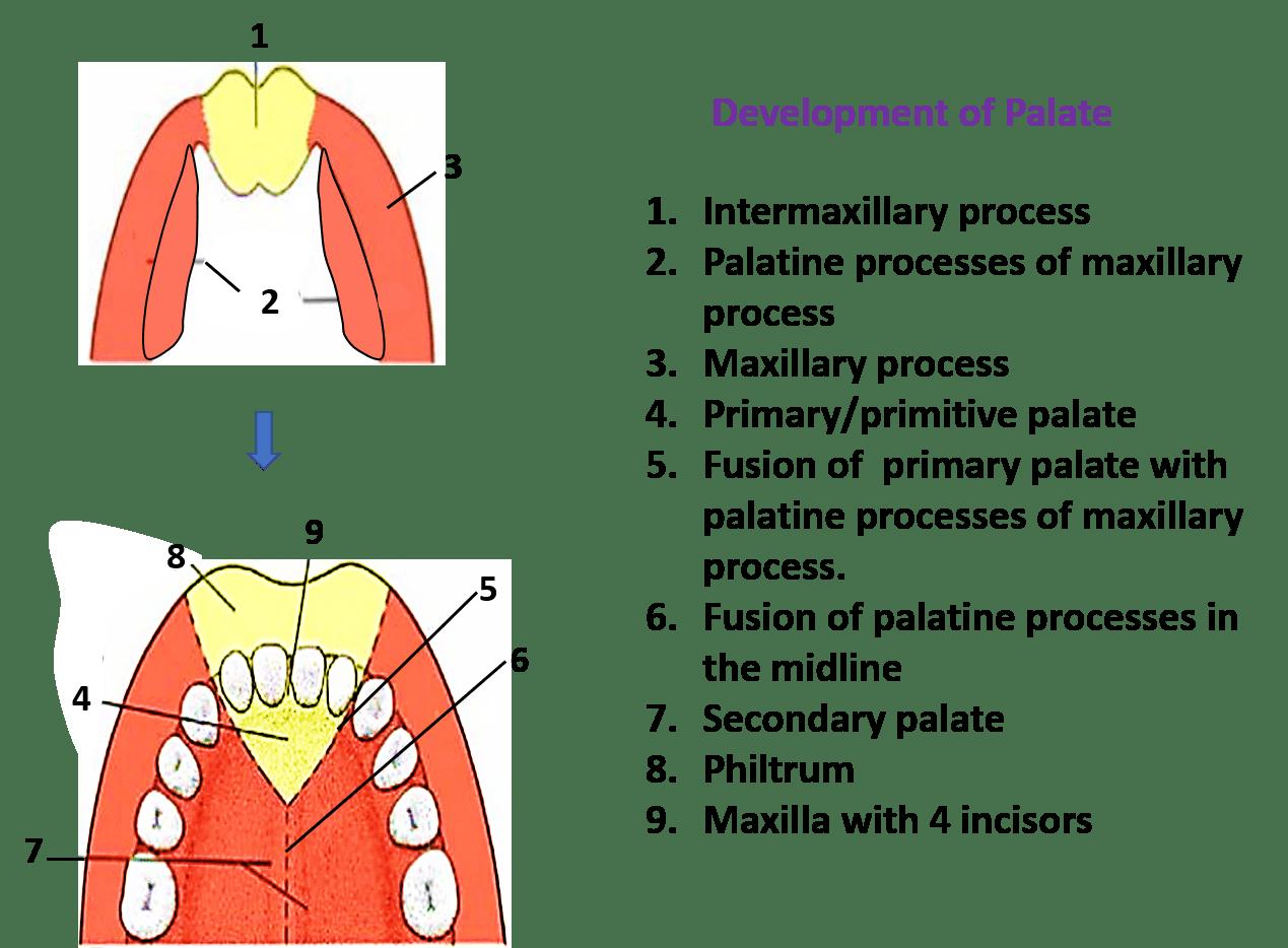 Development of Palate -
