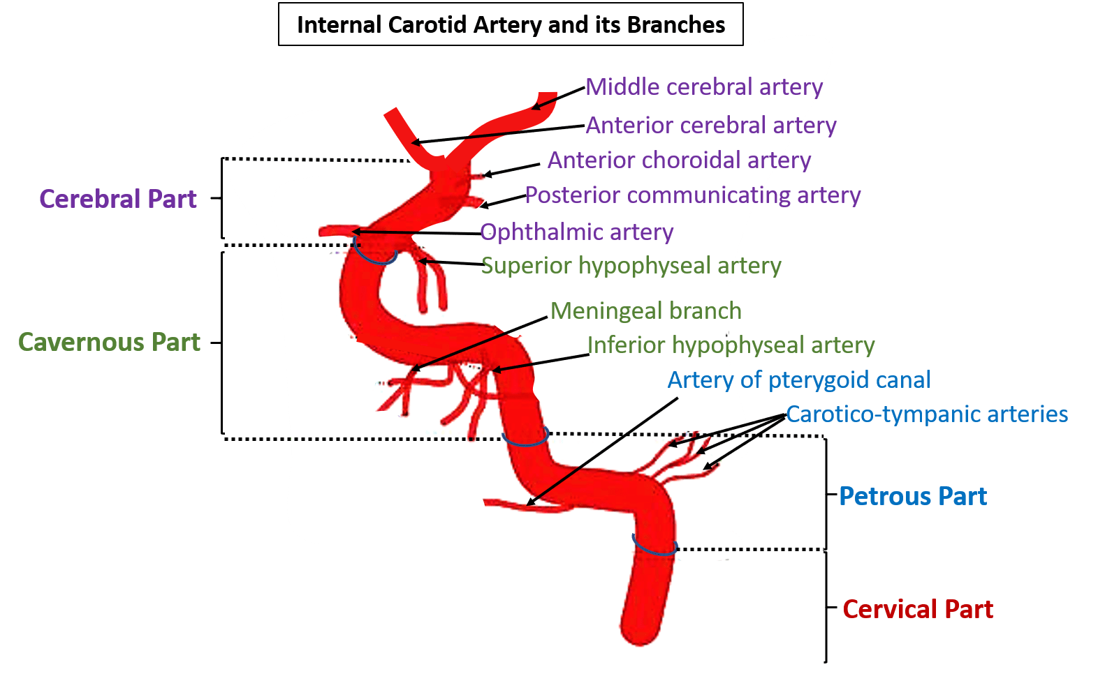 Luxury Internal Carotid Artery Branches Image Collection - Anatomy ...