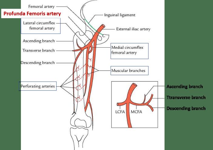 Femoral Profunda Femoris Arteries Branches Structures Supplied