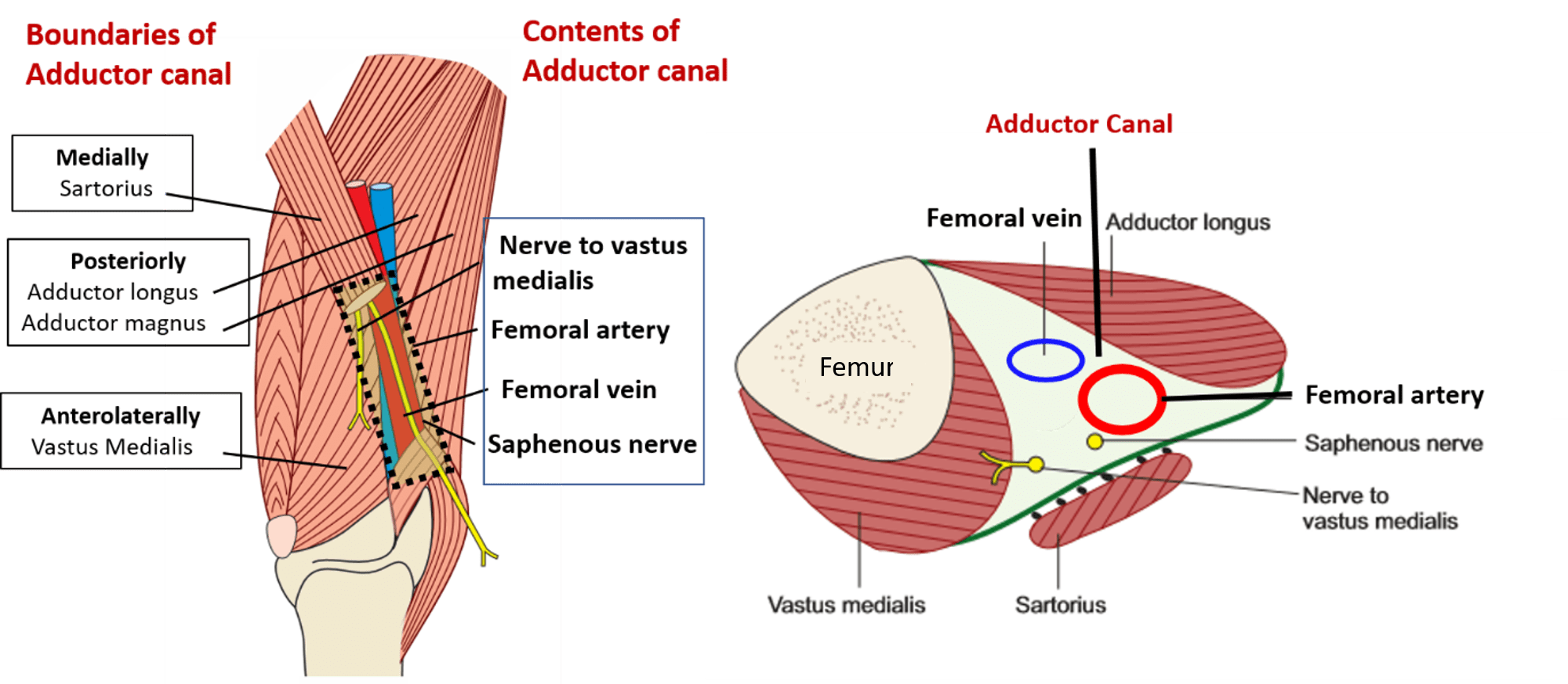 Adductor canal - Hunter\'s canal - boundaries and contents -