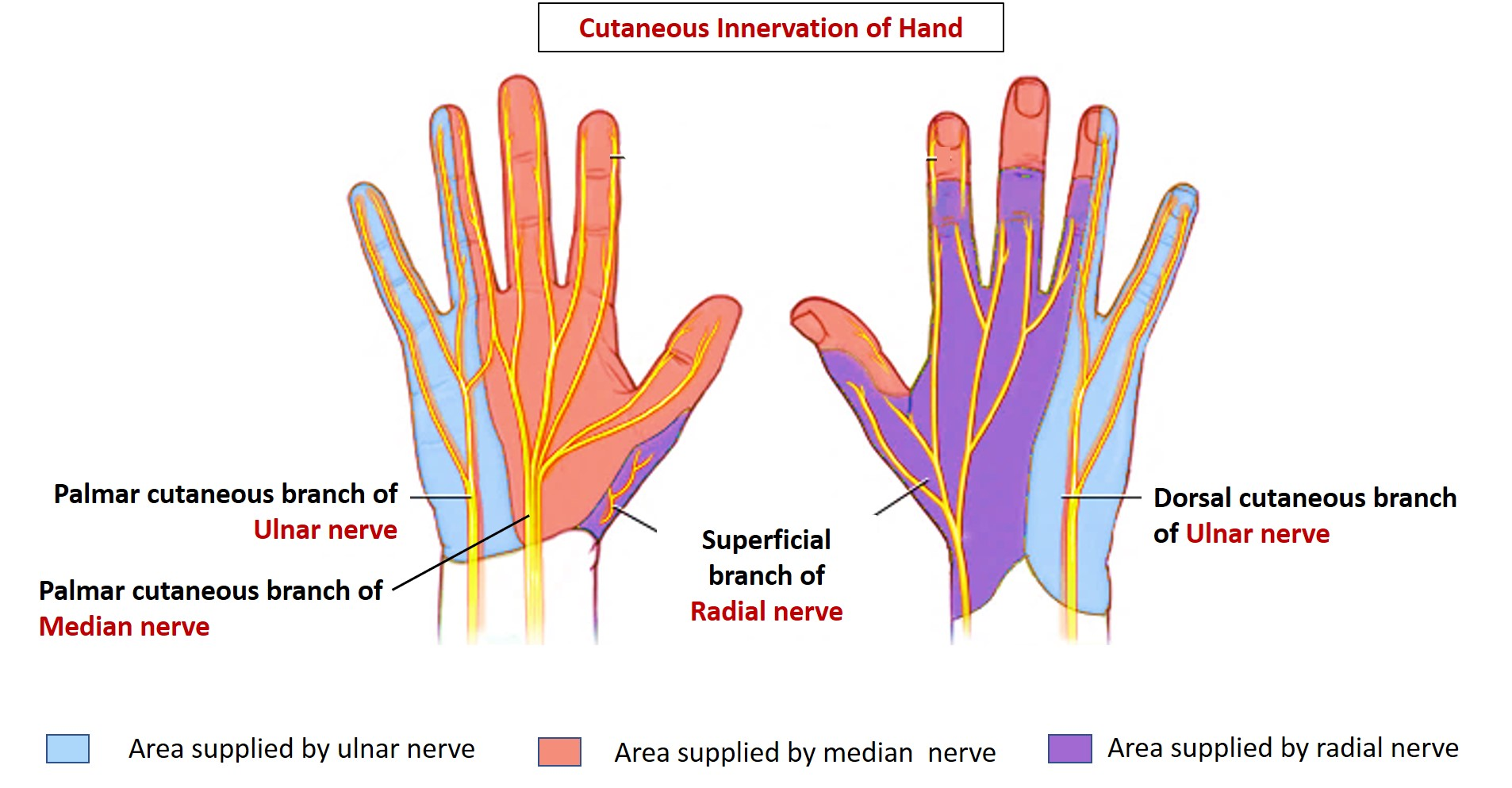 Cutaneous Innervation of Hand - areas supplied by median, radial and ...