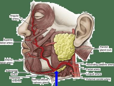 Face - Arterial Supply - Facial Artery and other Arteries -