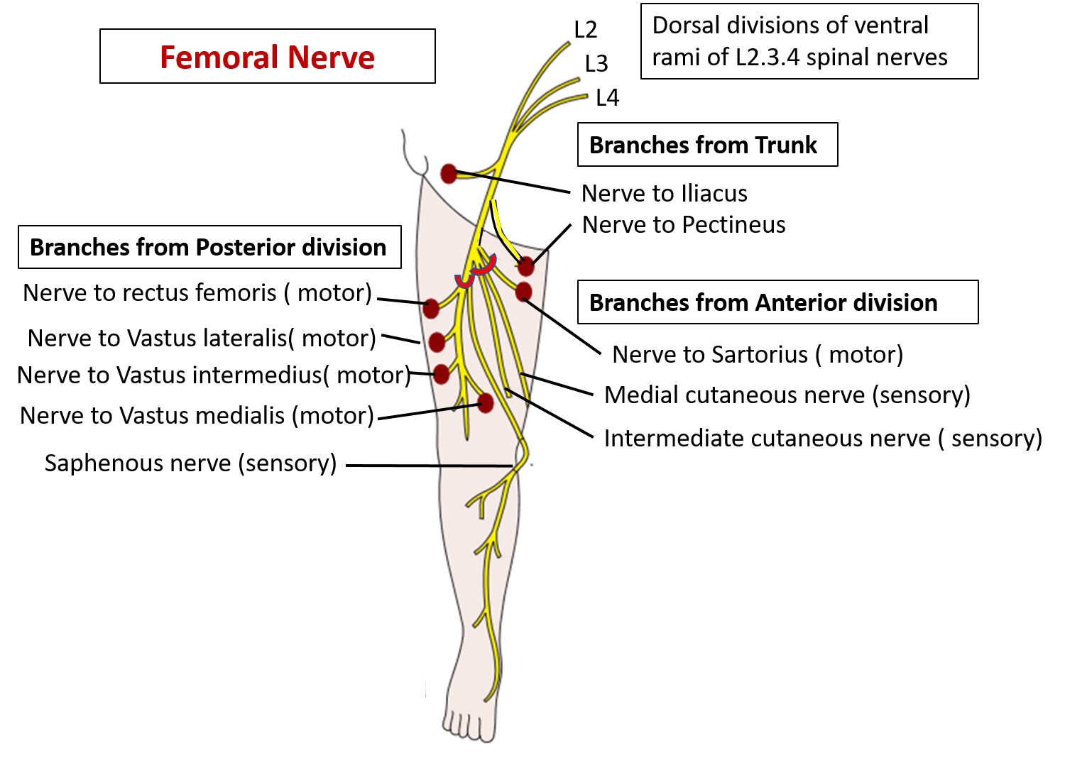 Dorable Anatomy Femoral Nerve Ornament Human Anatomy Images