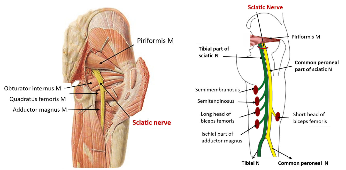 Sciatic Nerve - Origin, root value, course , branches and applied -