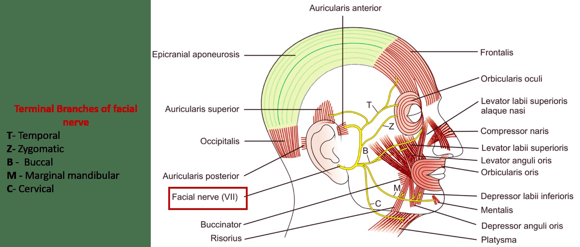 Contemporary Facial Nerve Anatomy Picture Photo - Anatomy Ideas ...