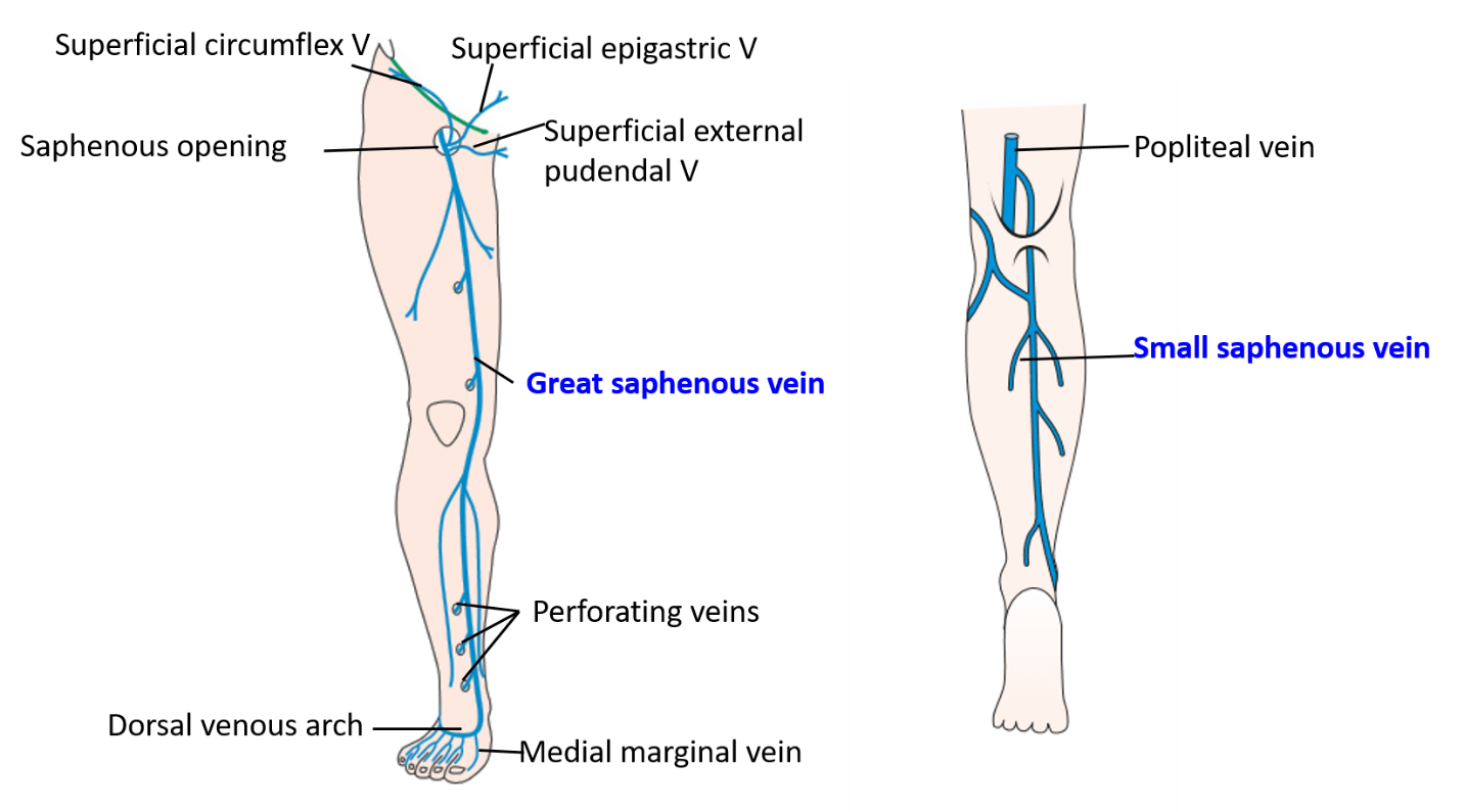 Veins of Lower Limb - great and small saphenous veins and their ...