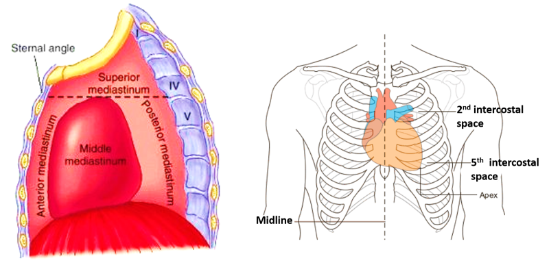 Heart - External Features - apex, base, surface and borders ...