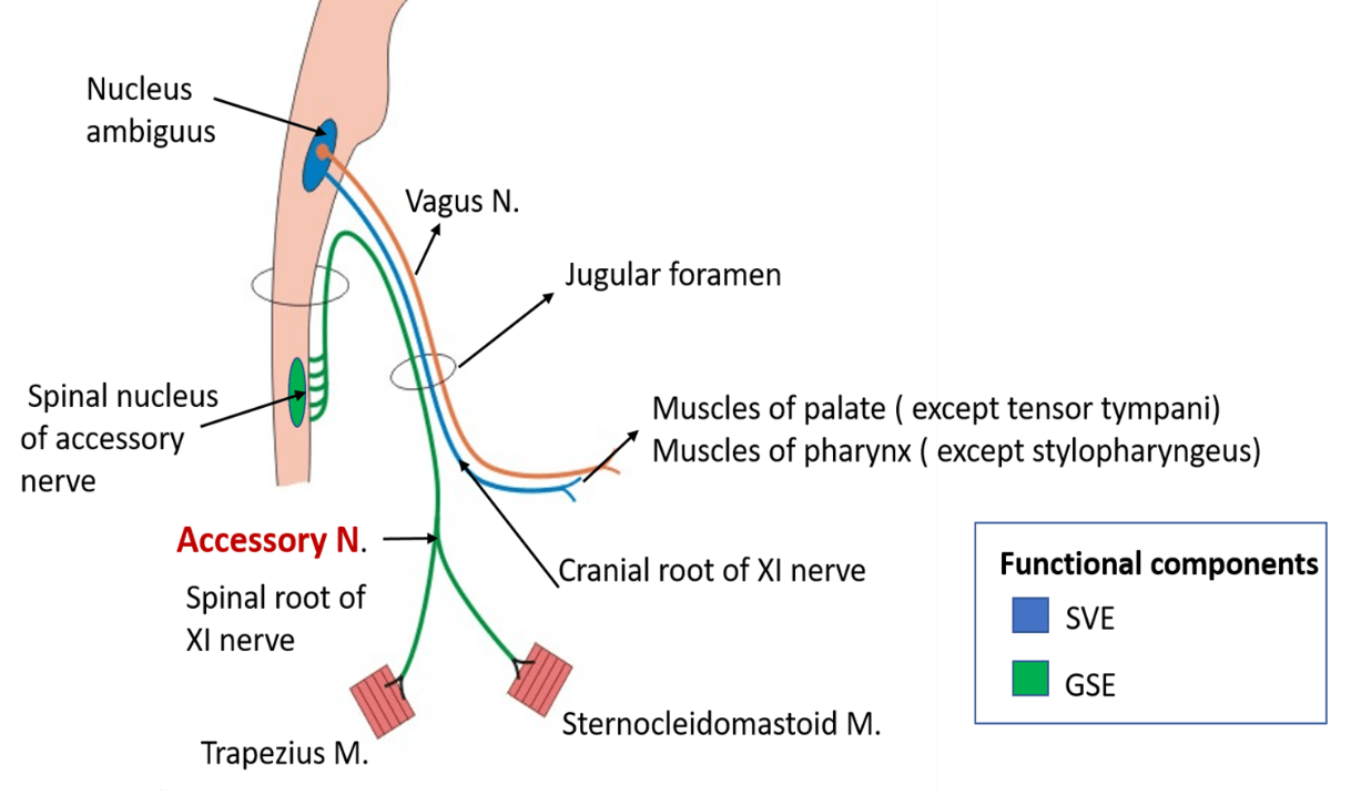 Accessory Nerve - nuclei, course, branches , structures supplied -
