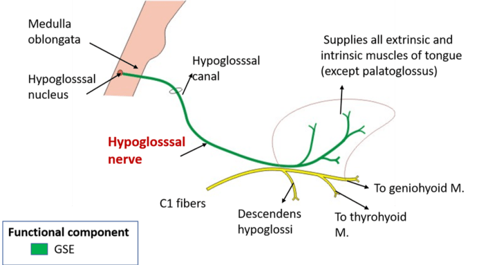 Hypoglossal Nerve - nucleus, course, structures supplied and lesion -