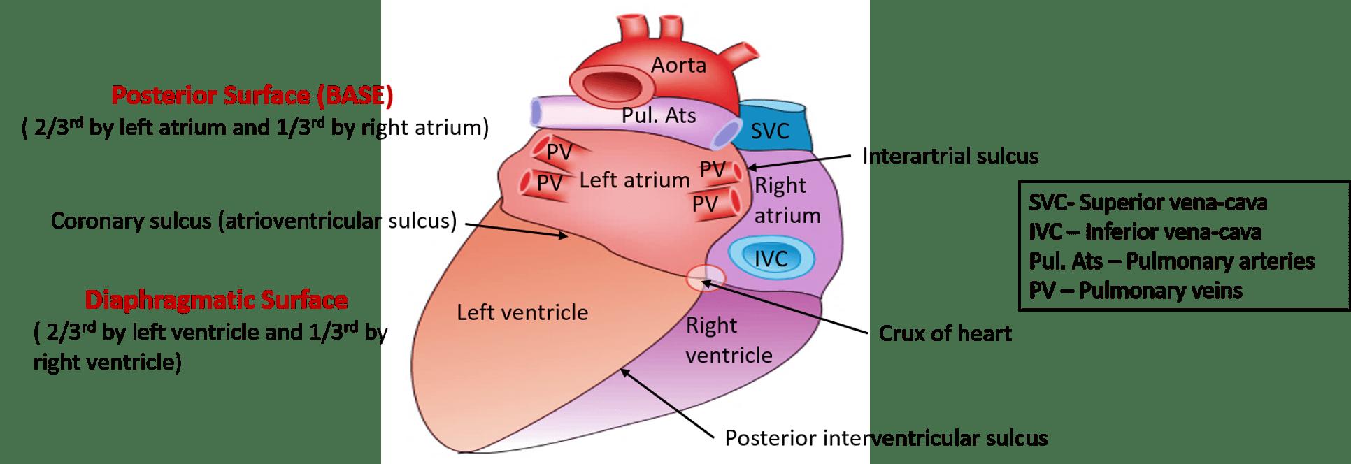 Heart - External Features - apex, base, surface and ...  Heart - Externa...