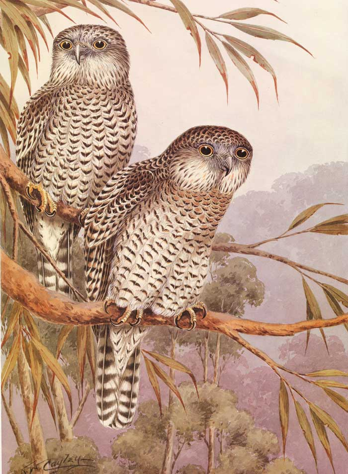 Powerful Owl Cayley Painting