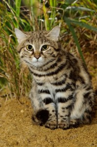 An adult black footed cat sitting facing forward