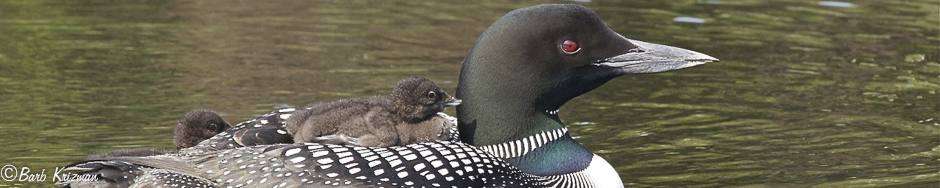 Loon with chicks for ride