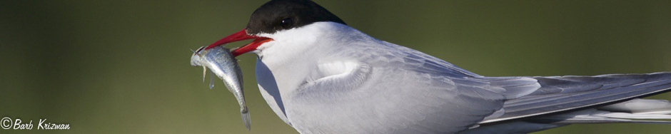 Arctic Tern with dinner