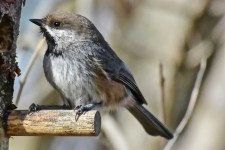 161009-feeder-1-boreal-chickadee