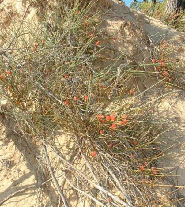 Arbusto de la Ephedra, del que se obtiene la efedrina. ¿El antiguo soma de los mitos hindúes?. (CC BY SA 3.0)
