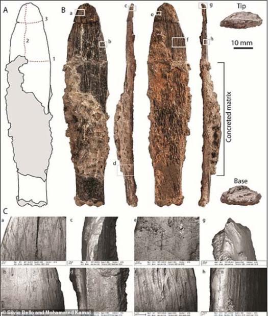 Herramienta de hueso hallada en la cueva de Dar es-Soltan 1. A) Dibujo de la herramienta con la secuencia de roturas post-deposicionales indicada [1–3]; (B) Fotografía de la cara cortical, el filo, la cara trabecular, el lomo, la punta y la base de la herramienta. (C) Imágenes obtenidas mediante microscopio electrónico de barrido detallando (a) marcas de raspadura y pulimentado a lo largo del lomo en la cara cortical de la herramienta y (b) marcas profundas de raspado (afilado) a lo largo del filo en la cara cortical; (c) escamado cerca de la punta de la herramienta, y (d) detalle de la superficie de ruptura plana cercana a la base de la herramienta; (e) huellas de desgaste cercanas al filo en la cara trabecular de la herramienta y (f) marcas profundas de raspadura cercanas al lomo en la cara trabecular; (g) escamado cerca de la punta y (h) pulimentado del lomo de la herramienta. (Imagen: © 2018 Bouzouggar et al.)