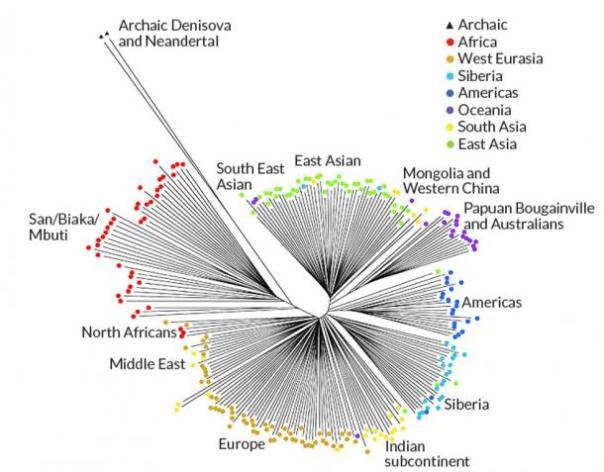 Se rastrearon los rasgos comunes entre los diversos grupos humanos comparando su grado de eliminación de ADN . Las líneas más largas corresponden a los grupos que han perdido más ADN. (P. Sudmandt et al 2015)