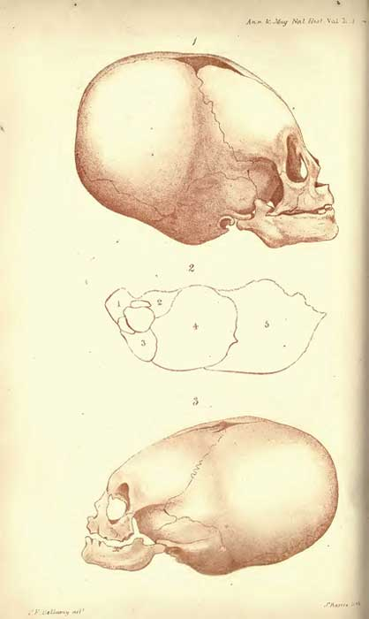 Lithographs of skulls by J. Basire