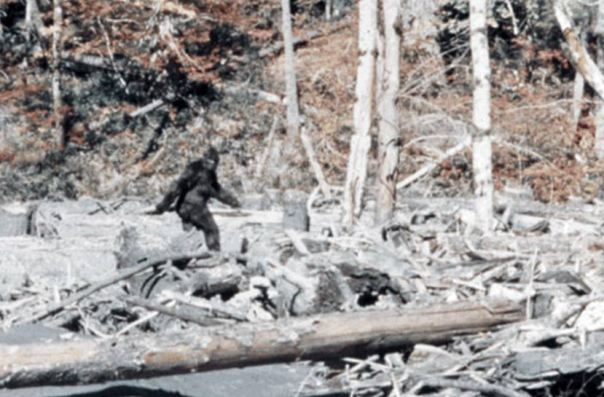 """El famoso avistamiento Bigfoot del """"Marco de película de Patterson-Gimlin 352"""" por la película de Patterson-Gimlin."""