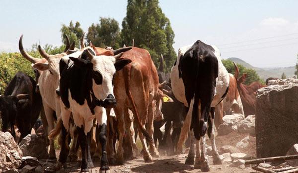 Digerire latte in Etiopia