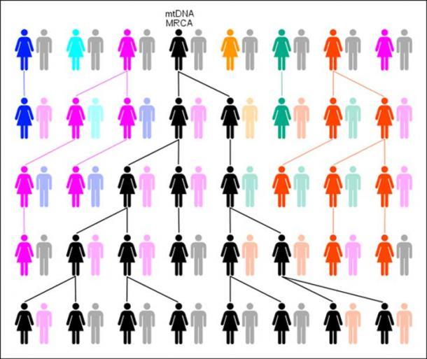 Grafico che mostra l'evoluzione degli aplogruppi mtDNA in MRCA. (C. Rottensteiner / CC BY SA 3.0)