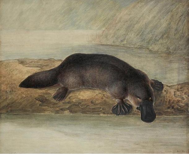 Pittura di un ornitorinco, John Lewin, Nuovo Galles del Sud, Australia (1808)