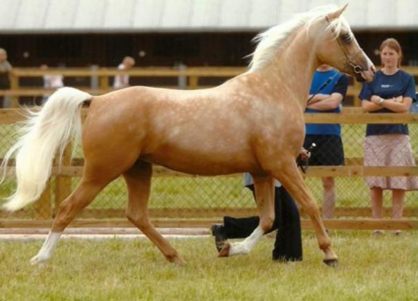 Rangos para colorear caballo palomino de oro intenso a un color crema de oro con melena blanca y la cola