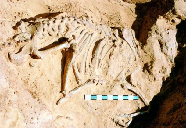 The skeleton of a young cow found in a chamber under a tumulus.