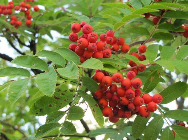 Le bacche rosse crostata dell'albero Rowan