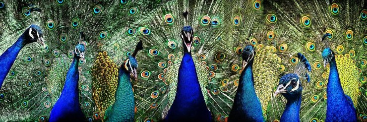 Significance of Peacock in Vedic Astrology