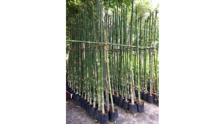 Vastu Tips for Wealth Bamboo plants