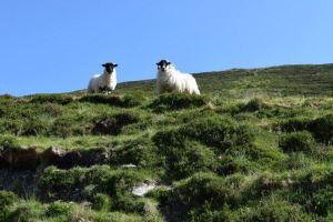 Ireland vacations Slieve Leage Sheep