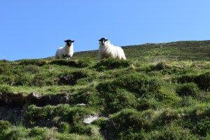 Pics from Ireland tours Sheep along the Pilgrim's Path