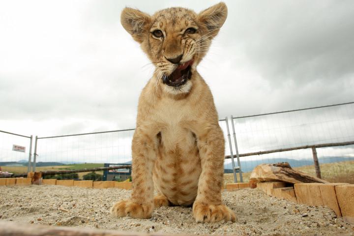 Filhote de leão reproduzido em zoológico da Eslováquia. Foto: Ringier Axel Springer / Barcroft