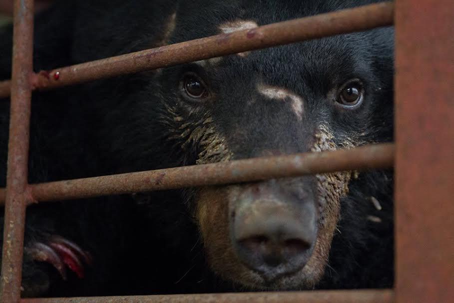 Urso cativo em fazenda de extração de bile. Foto: Animals Asia