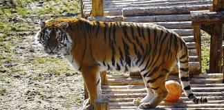 Além de ser confinados em jaulas, os belos tigres ainda são vítimas de agressões de vsitantes do zoo   Foto: Divulgação