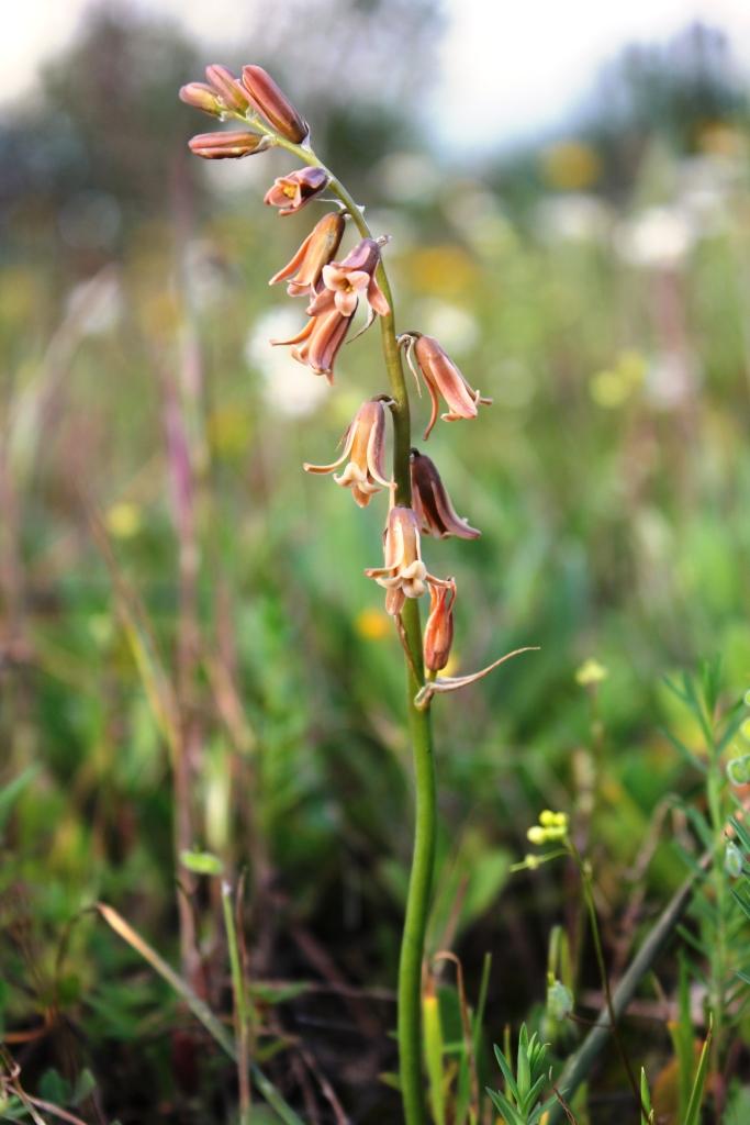 Andalusian orchids near Cortijo de las Nieves