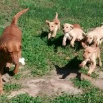Daisy teaching her pups to play